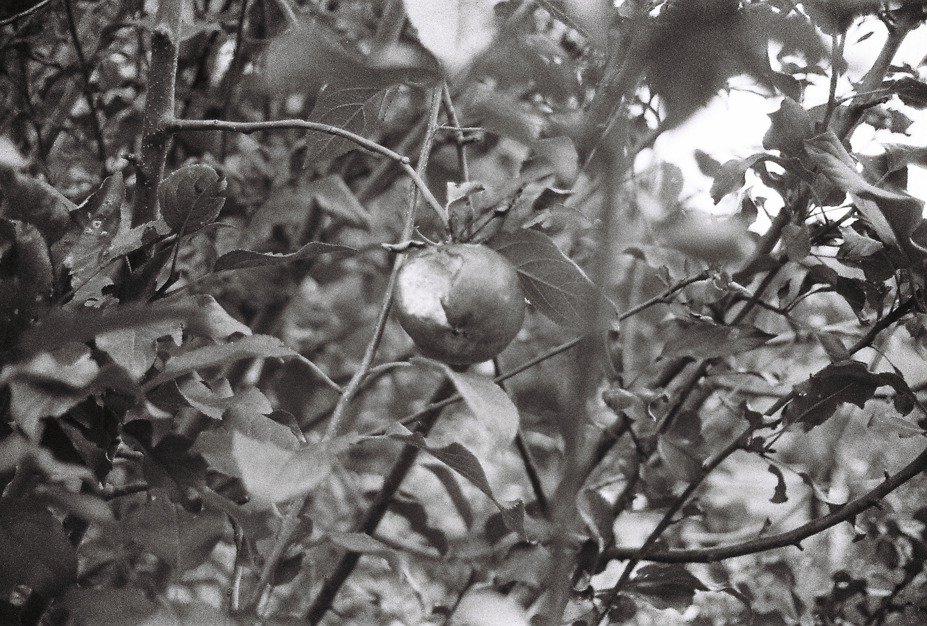 A black and white photograph of an apple in a tree with a bite taken from it - Kate HOLFORD - After Annie (2)