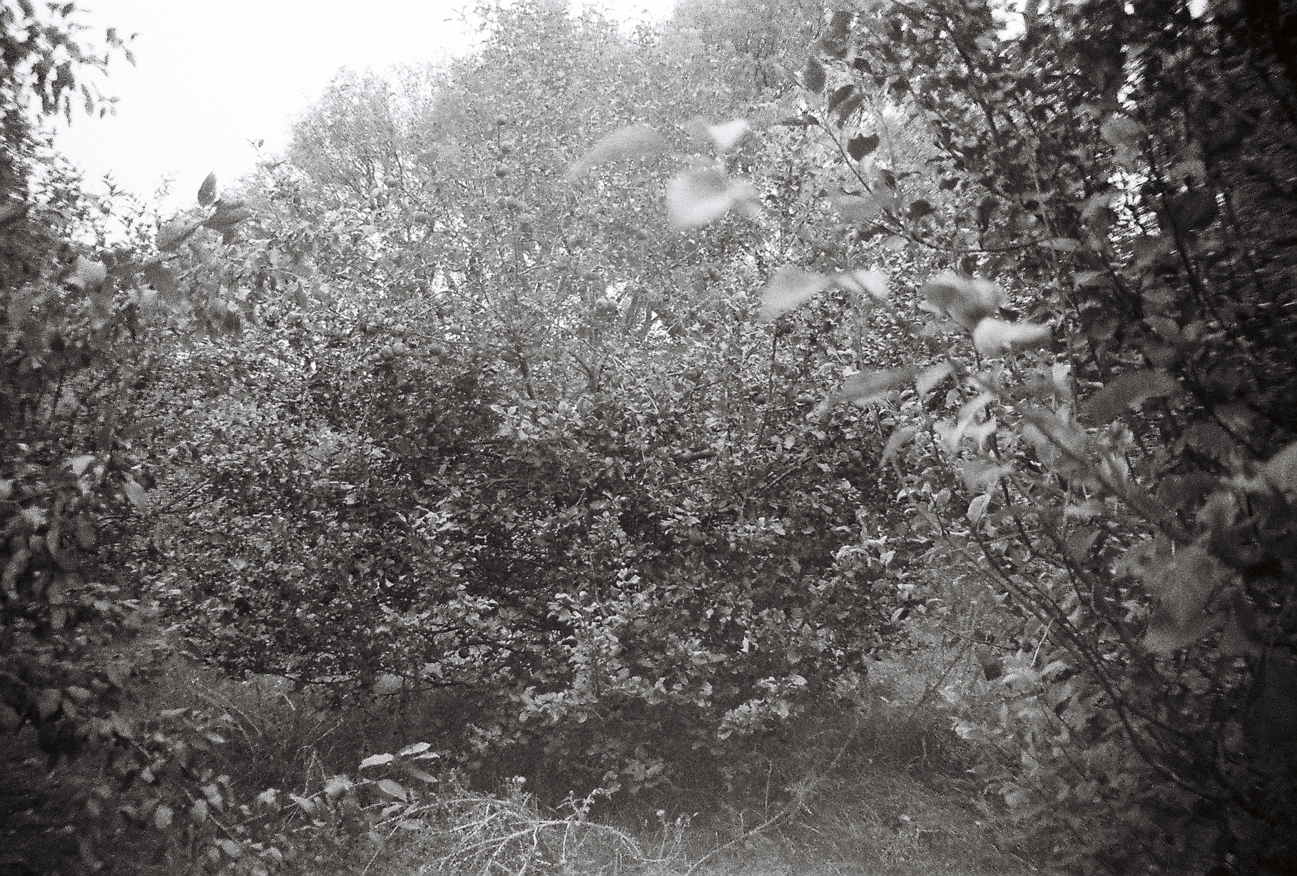 A black and white photograph of an apple tree in an orchard - Kate HOLFORD - After Annie #9